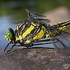 centuryplant: Close-up of the head and thorax of a Dragonhunter dragonfly (Dragonhunter dragonfly)
