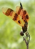 centuryplant: A Halloween Pennant dragonfly in obelisk posture (that is, with the tip of its adomen pointed up toward the sun). (obelisk posture)