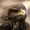 askthesea: A close up of a Haris Hawk's face. (Hawk)