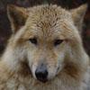 professorwolf: (wolf-earskew)