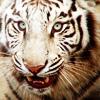 jassanja: (Cats - White Tiger)