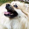 starria: Pomeranian (Default)