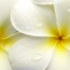 frangipani: photo of frangipani flowers (Default)