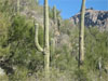 lnhammer: two saguaro cacti in a desert thornscrub landscape, with canyon walls behind (desert)
