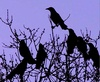 waxwing_project: (with the crows)