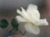 alena_15: (Цветок Леля)