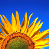 theodosia21: sunflower against a blue sky (Roy pondering)
