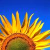 theodosia21: sunflower against a blue sky (Default)