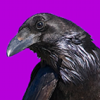 corbae: A raven on a violet background (corbae)