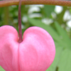 instantramen: hanging heart-shaped blossom (we can grow you a new one)