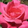 distractions: It's a pink rose. (Pink Rose) (Default)