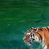 instantramen: tiger head in front of water (I come from the water)