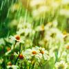 star_swan: (Rain & Daisies)