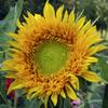 kaffeesahne: (Sonnenblume)