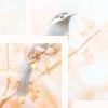 lifeingeneral: Bird in a Cherry Tree (Stock:BirdChryTree)