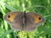 a_passer_by: The butterfly Maniola jurtina (maniola jurtina)