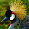 muccamukk: Picture of a crowned crane, the national bird of Uganda. (Lights: Uganda)