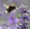 lavenderbee: (bee)