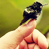 orm: a very, very small bird whose smallness is demonstrated by comparison to the human thumb on which it is perched (TINY AND WEE: hummingbird)