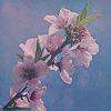 bejanelle: (peach blossom)