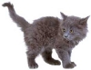 death_gone_mad: A grey tiny kitten (cat)