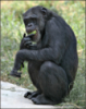 king_bishop_of_hataria: A chimpanzee because tradition (chimpanzee, default)