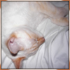 ingo: Picture shows the head, shoulders & front paws of a flame point Siamese kitten sleeping curled up on a white sheet. (sleepy)