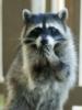 crazy_raccoon: (pic#4339174)