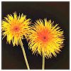 beautifulsheen: two dandelions against black (Dandelions)
