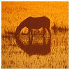 beautifulsheen: a horse grazin in a field by a pond in a yellow sunset (Horse sunset)