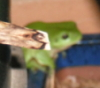 gwyn_bywyd: A green  tree-frog, trying to escape the paparazzi, by hiding behind a plant. (Frog)