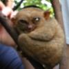 chipsnopotatoes: (tarsier)