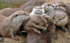 wanted_a_pony: photo of several Asian small-clawed otters cuddling and playing (Asian small-clawed otters)