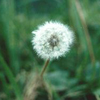 elf: Dandelion puff (Dandelion break)