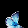staranise: A blue butterfly on a black background, faintly backlit. ([personal] A certain shape of light)