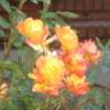onyxlynx: Roses, yellow /tinge of rosiness (Roses)