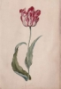 bellakara: (Tulip by Judith Leyster)
