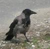 temporus: (crow)