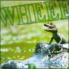 metron_ariston: A baby alligator riding on a parent alligator WHEEEEE (random - wheeeee!!)