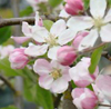 trystings: (Apple blossom)