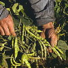 seedclub: (produce)