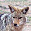 rising: a coyote (the cadre: happy coyote)