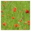 thedivinegoat: Photo of a field of poppies (My Photo - Poppies)