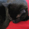 ironed_orchid: my black kitty, curled up asleep on a red sofa (Jaz)