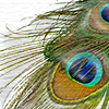risti: (peacock feather, peacock icon)