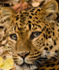 kyhwana: (leopard)