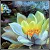 daidoji_gisei: Lotus flower (Lotus)