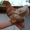 ilyena_sylph: our hen, shinra, sitting on my wrist (Photos: shinra)
