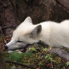 silverfurredfox: (Cannot see the point in getting up.)