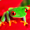 ext_151203: Frog on a red flower (Default)
